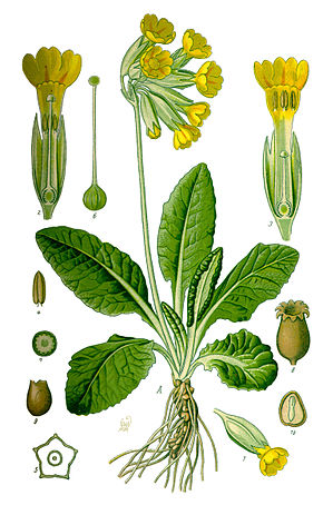290px-Illustration_Primula_veris0_clean