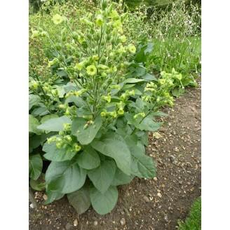 graines-de-petit-tabac-ou-tabac-de-jardin