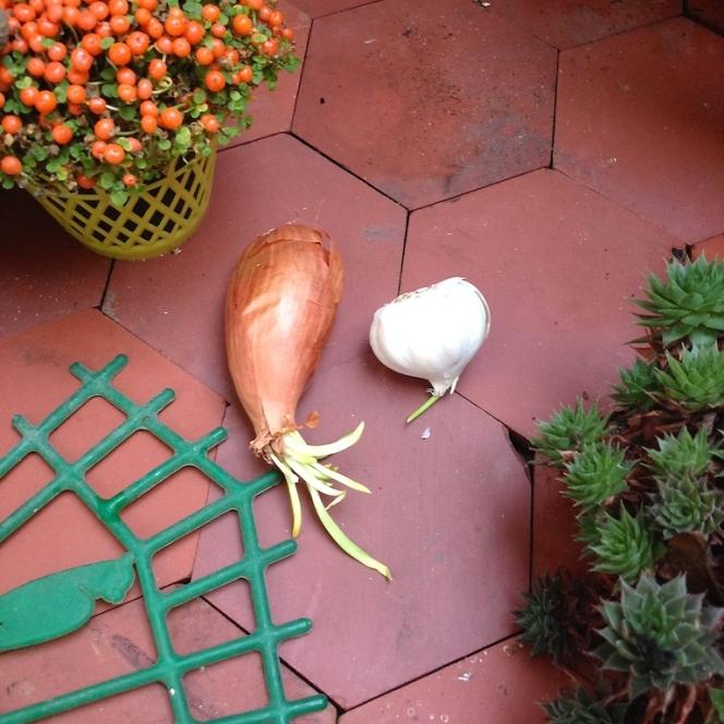 Oignons blog