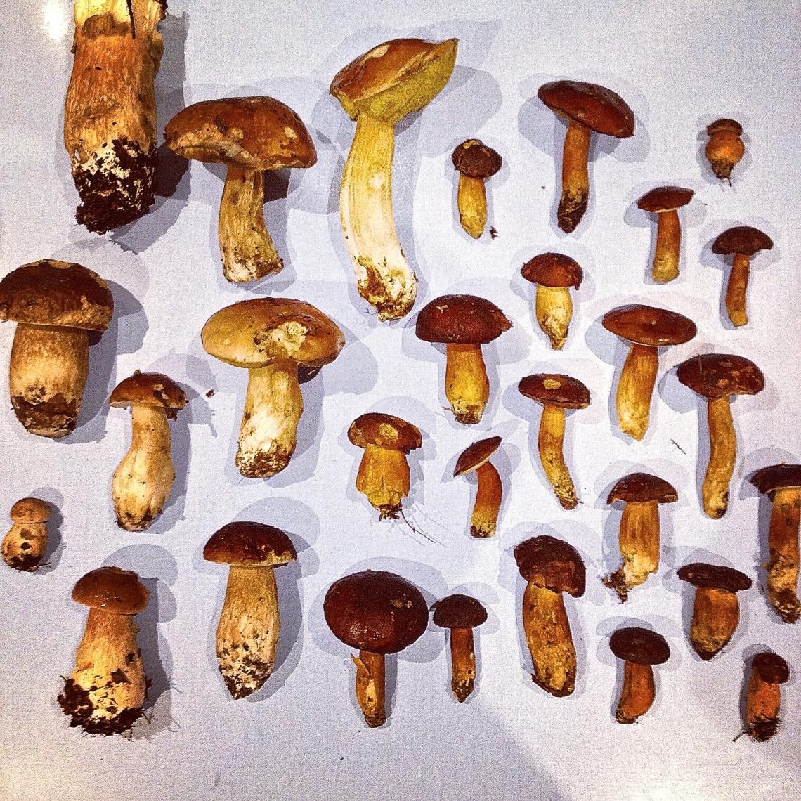 Cueillette sauvage champignon 50